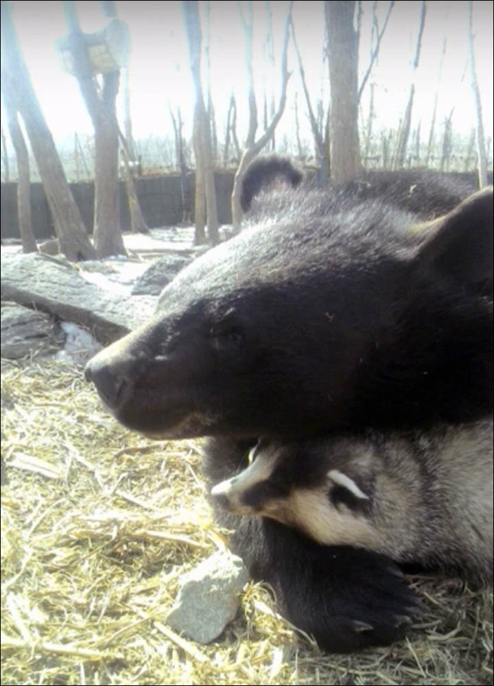 Bear plays with badger