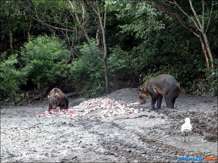 Bears on Iturup