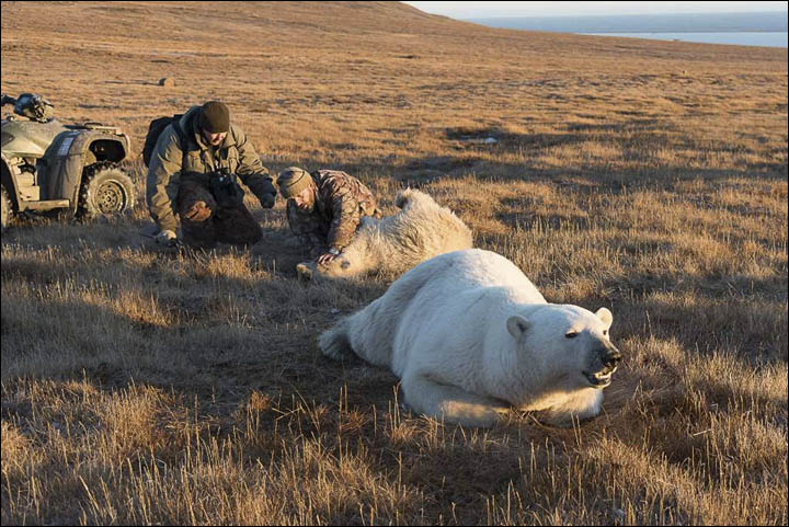 Search on for brown bear with its head stuck in a canister 