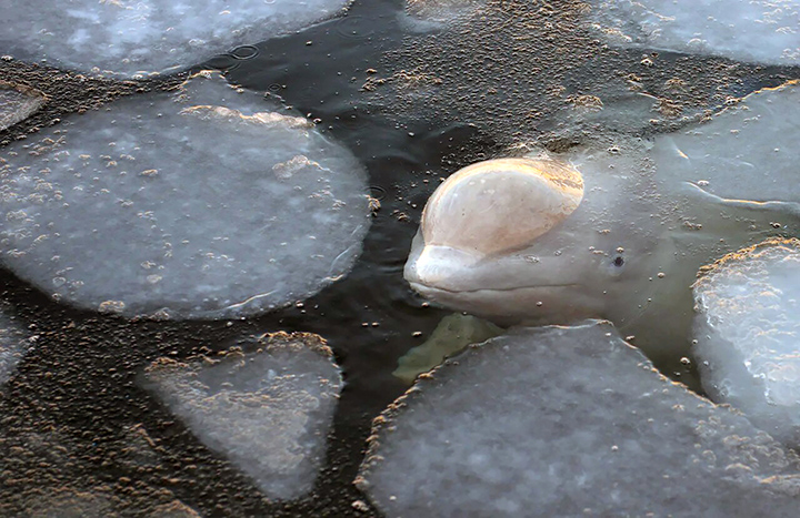 International and Russian ecologists beg not to interact with beluga whales released from the 'Whale Jail'