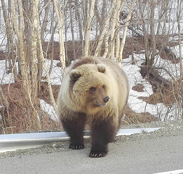 Bear pictured at the road