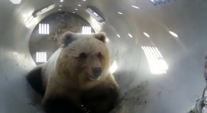 Bear inside the trap