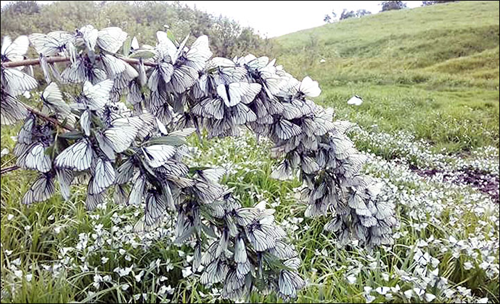 Butterfly invasion hits Siberia