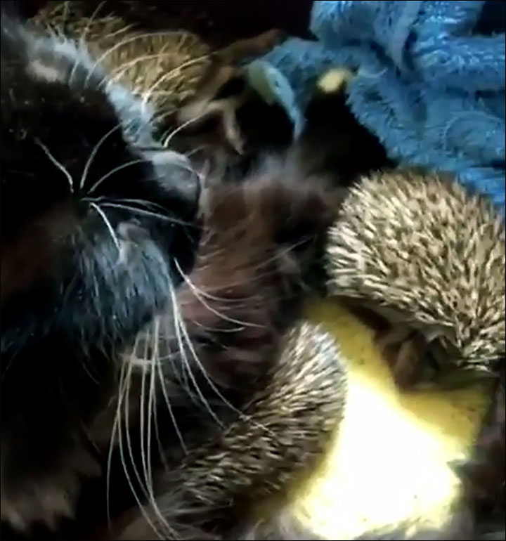 cat adopts hedgehogs