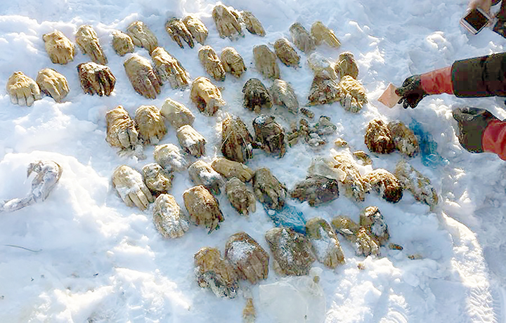 Bag of 54 severed human hands found in Russian Federation