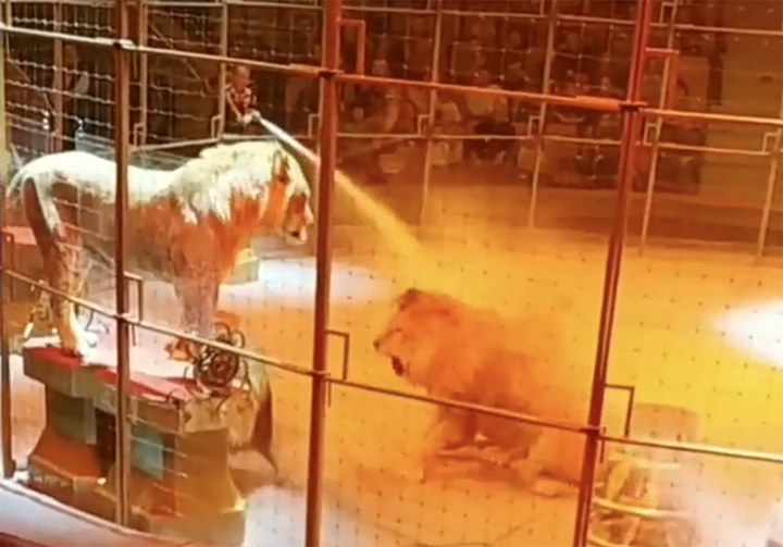 Panic as three male lions fight midway through circus show in Yekaterinburg circus
