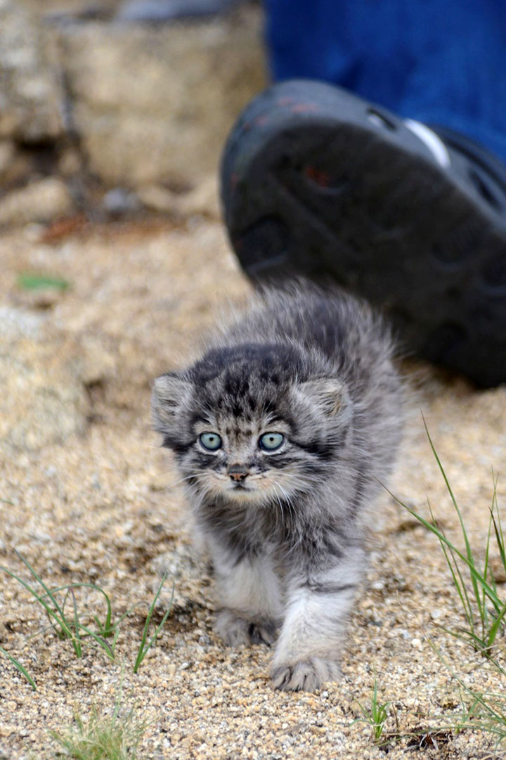 Scientists challenge nature by adopting an endangered orphan kitten, aiming to release her into the wild.