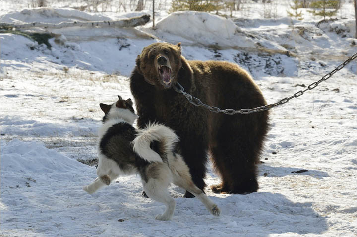 Can A Dog Fight A Bear