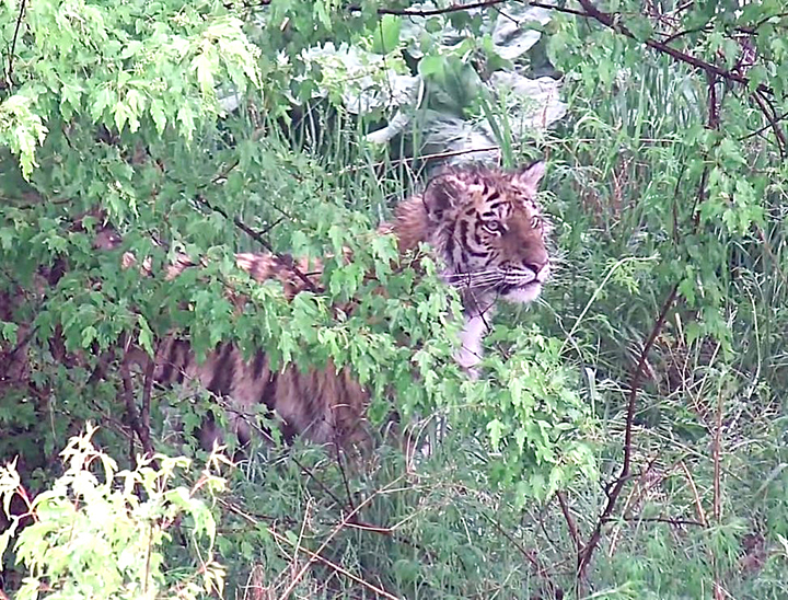 No lunch today! Rescued Amur tigress cub flips in the air and thuds on her back as she misses prey