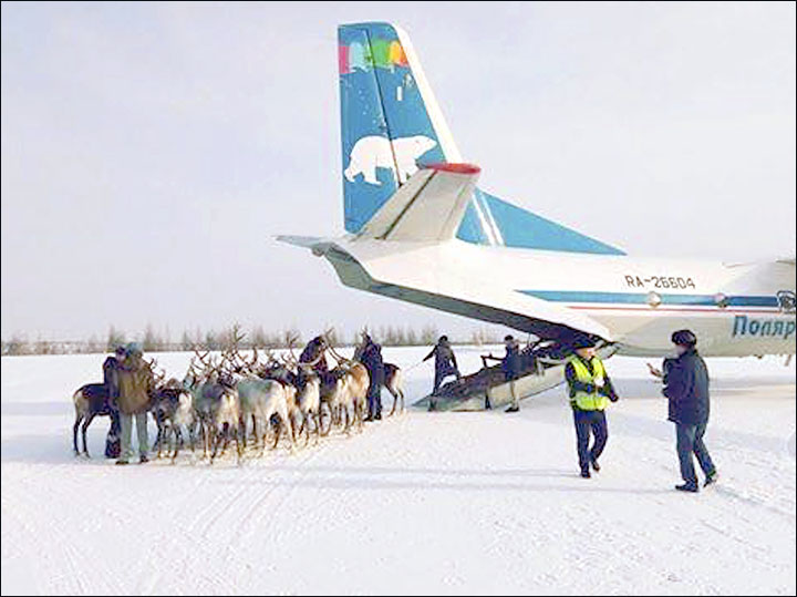 Reindeer really can fly - and not only at Christmas!