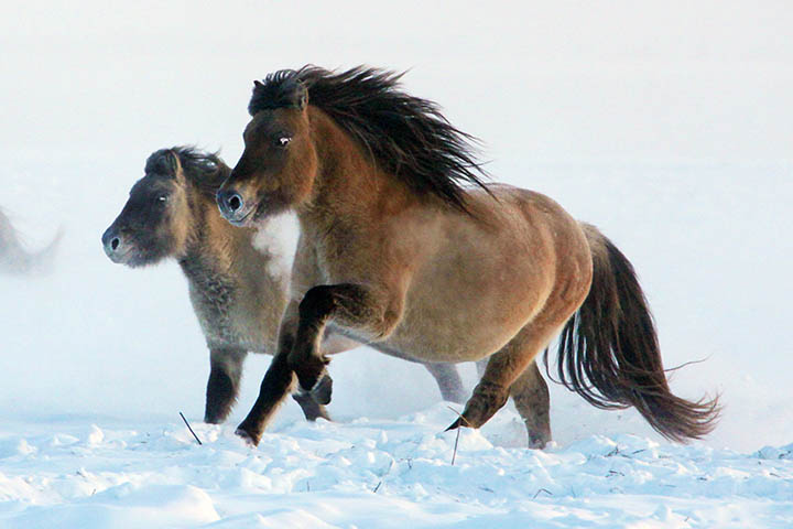 Yakut horses in the cold