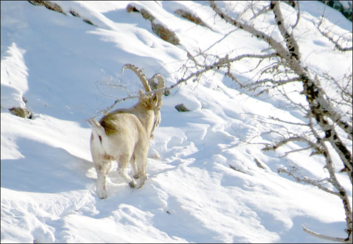 Food rescue for rare mountain goats in Altai Mountains