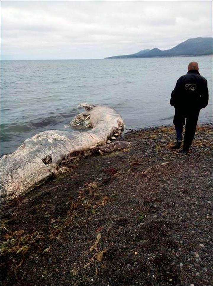 Monstruo marino ' Inside_dolphin_remains_and_man