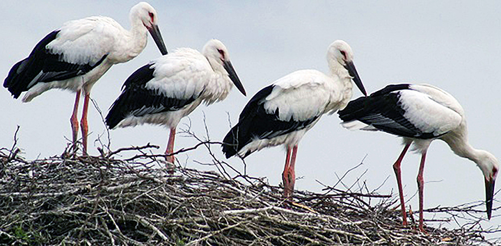 Hero father stork protects nest full of eggs as wildfire threatens his life