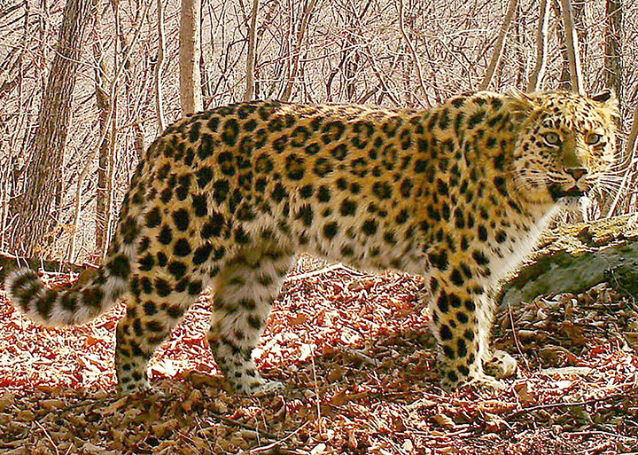 Christmas miracle: one of world's rarest big cats is back from the dead