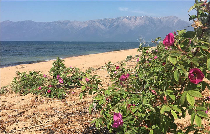 Concern over world's oldest and deepest lake as nasty odour and green algae discourages sunbathers in Buryatia.