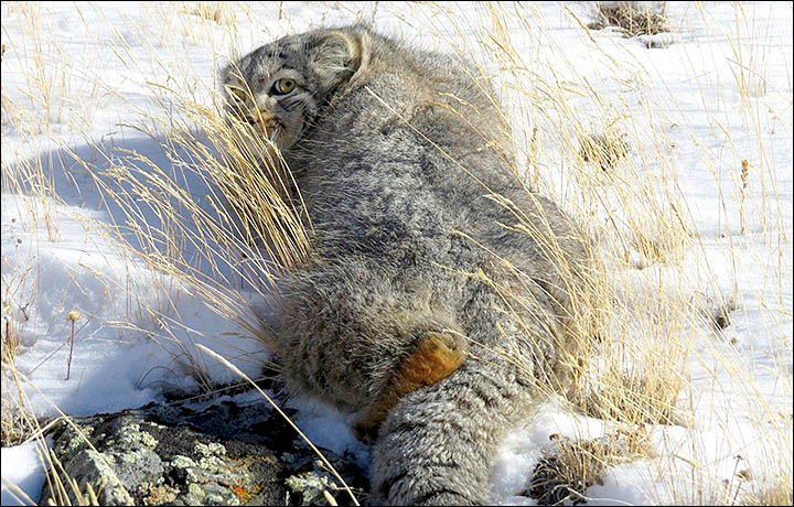 Stunning images of an extremely rare and secretive cat have been taken for the first time in Siberia by staff at a new national park.