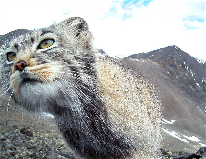 World's fluffiest, shyest, most expressive (and worryingly endangered) cat appears in wild photo-shoot.