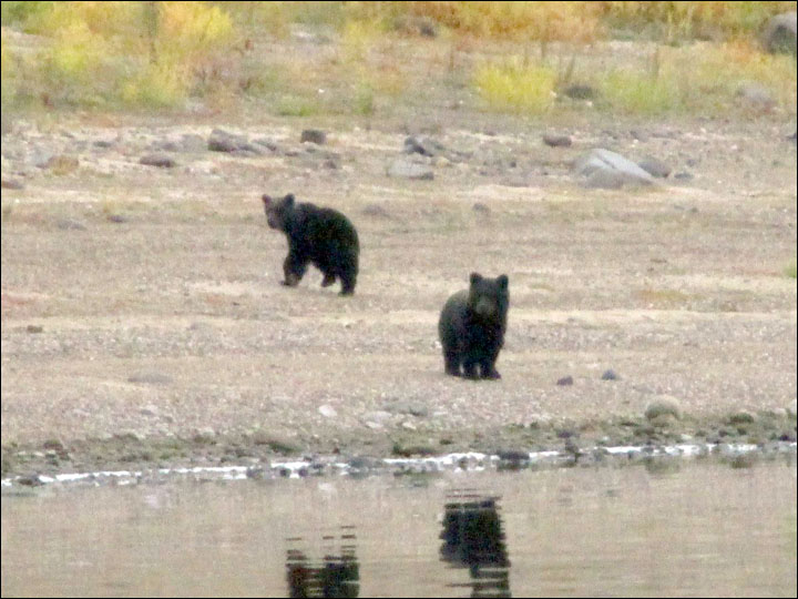 Heartbreaking moment a bear mother leaves her cubs to make their own way in the world