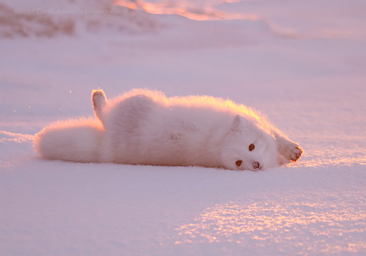 Stunning pictures of 'pink' Arctic Fox basking in sunrise on Yamal peninsula