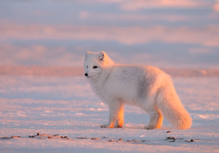 'While the snow cover is not thick, Arctic Foxes find enough food to get by and even feel in a good enough mood to play around, just like this one today.'