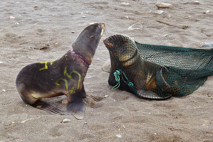 Saving our Seals - 28 sea mammals rescued after becoming trapped in plastic junk