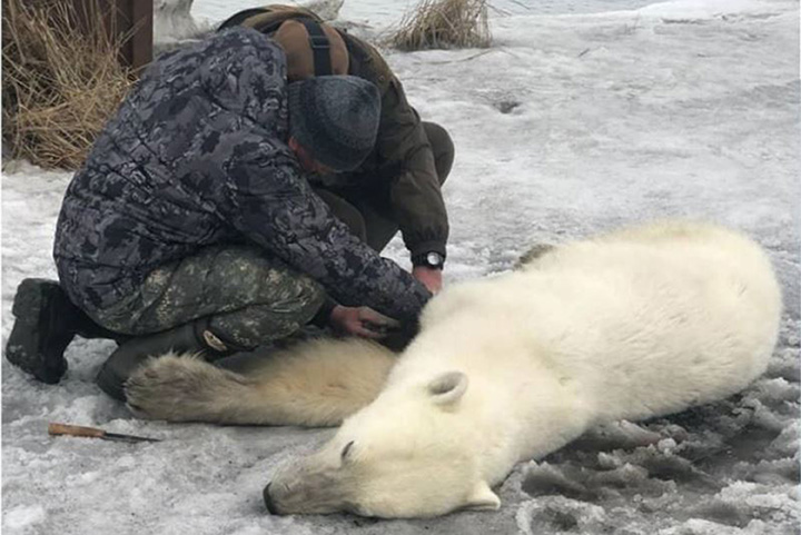 Sedated polar bear