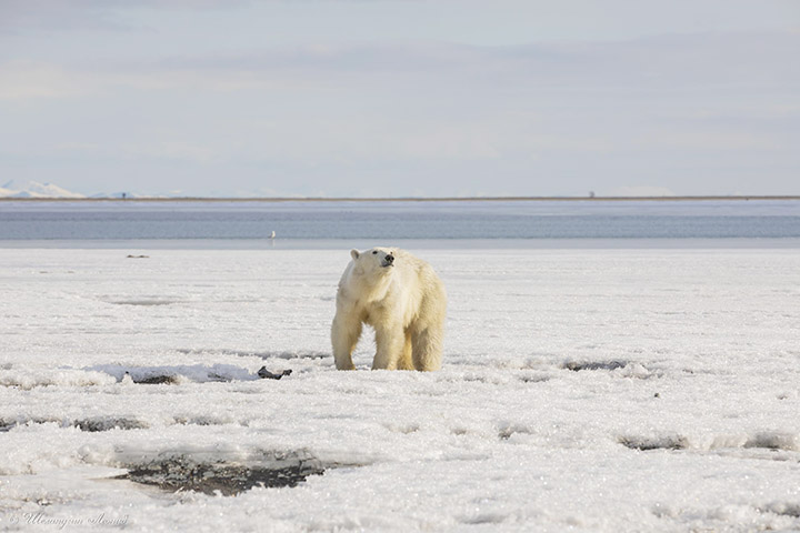 Polar bear in Tilichiki