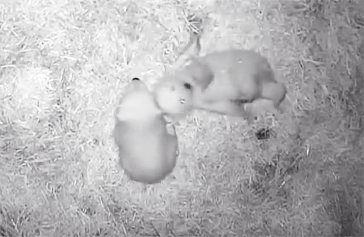 Double joy as polar bear family welcomes two tiny cubs in Novosibirsk