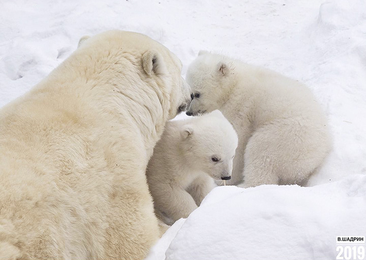 Mother Gerda with cubs
