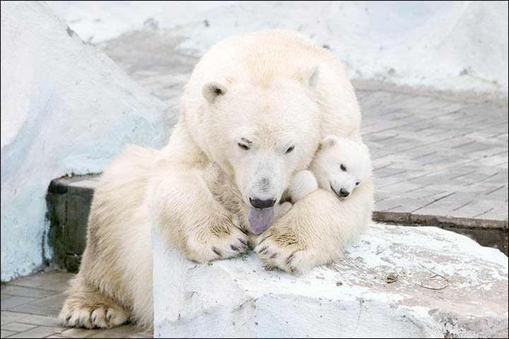 Polar bear Gerda cradles her three month old female cub in magical pictures from Novosibirsk Zoo.