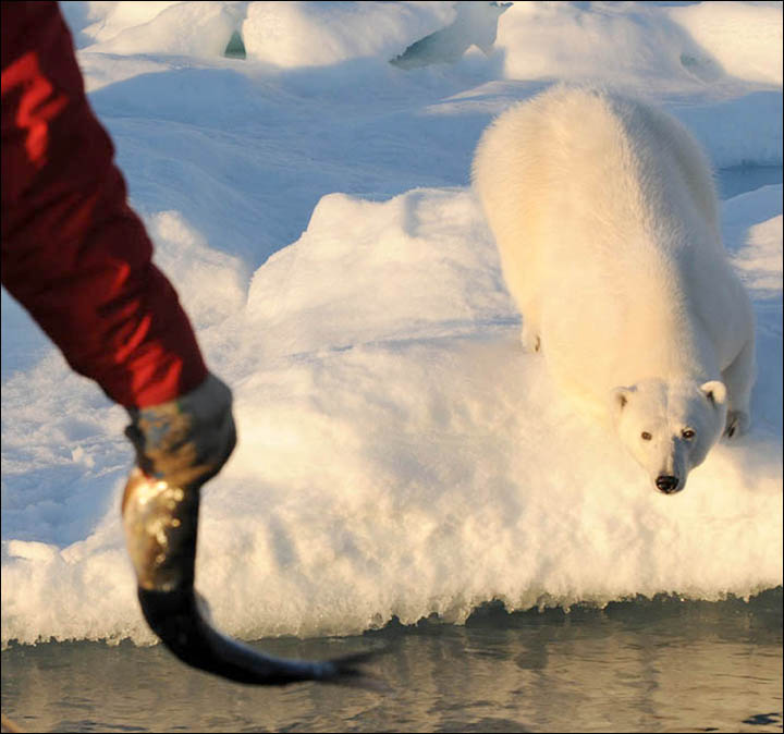 Might getting undressed in front of a hungry polar bear save your life?