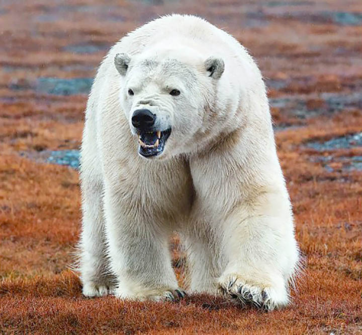 Lunch arrives on Wrangel Island, and 230 polar bears show up for the feast
