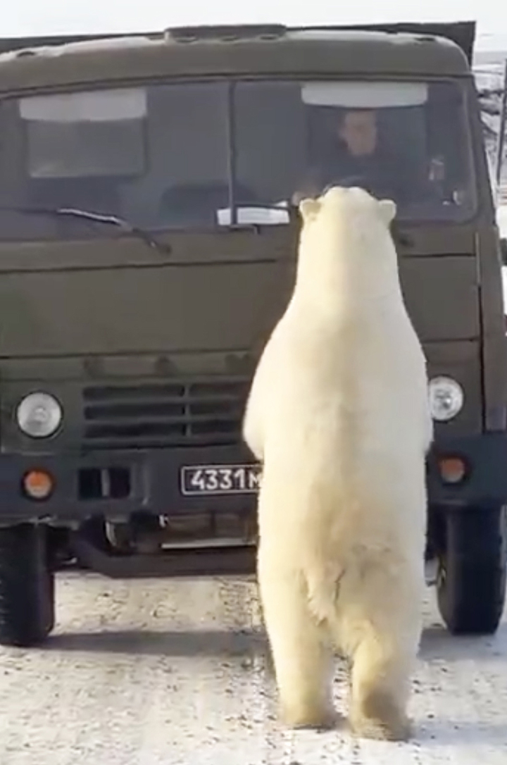 Ten polar bears - six adults and four cubs - besiege a stalled rubbish truck in Russian Arctic