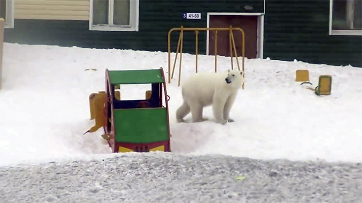 Polar bear at the playing ground