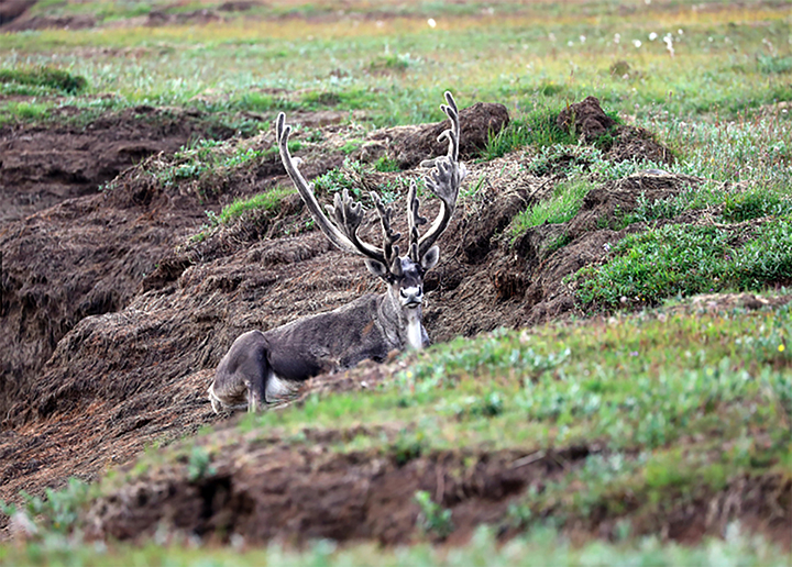 Northern reindeer that roamed Taymyr peninsula are at the brink of extinctionqNorthern reindeer that roamed Taymyr peninsula are at the brink of extinction
