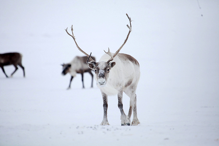 Northern reindeer that roamed Taymyr peninsula are at the brink of extinction