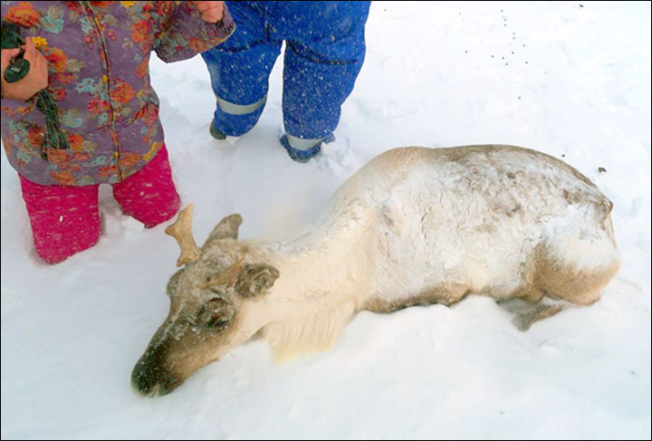 Mass reindeer deaths if no early warning system for 'climate change' freak freezes