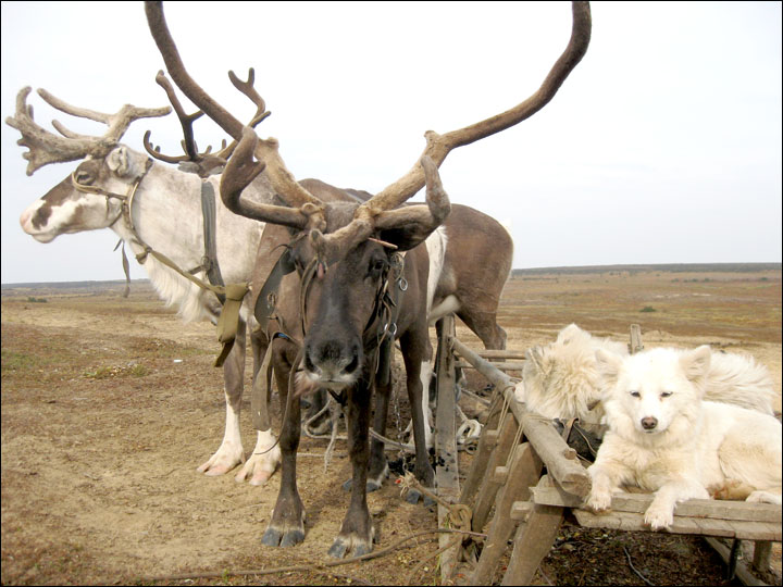 Beware of action that would put age-old tundra nomadism at risk in Yamal, says expert