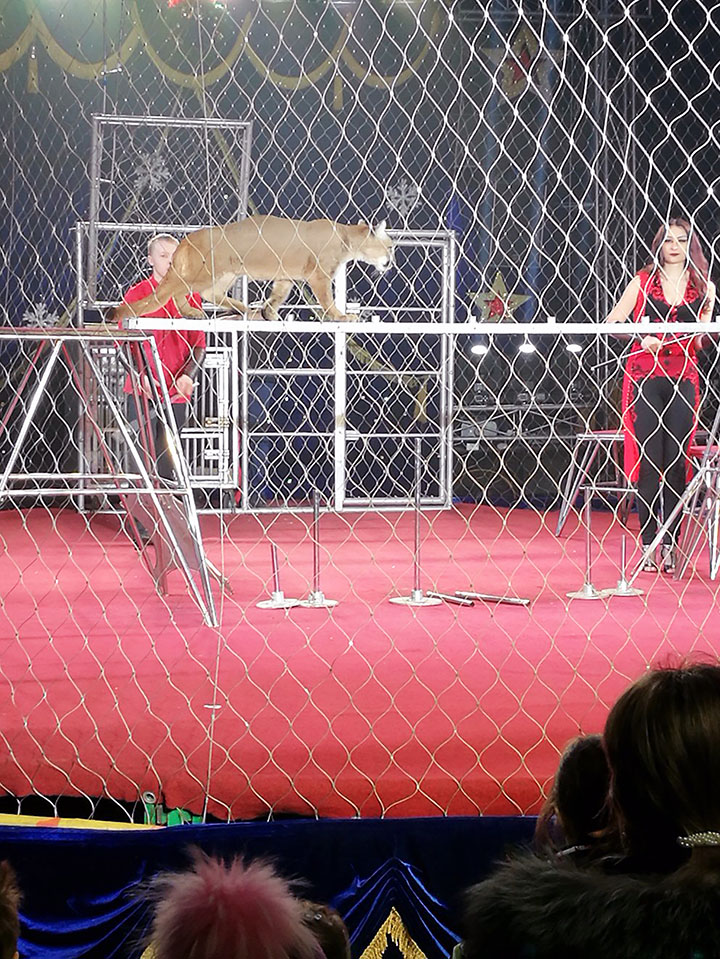 Runaway circus puma attacks young woman in Krasnoyarsk