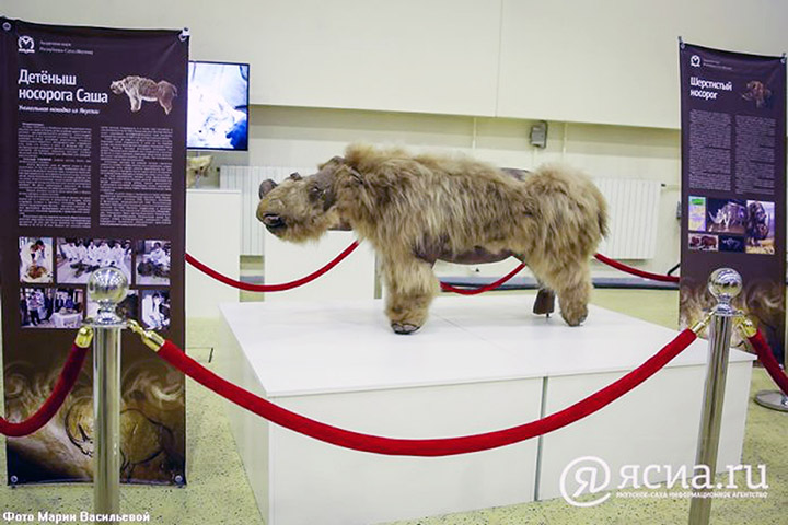 Lifelike again after 34,000 years, the world's only baby woolly rhino