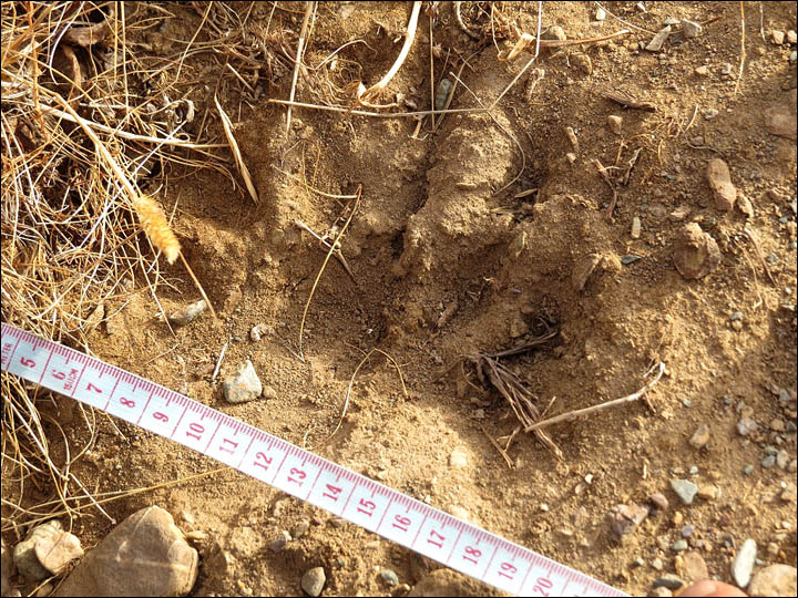 Traces found of bear thought to have died out decades ago