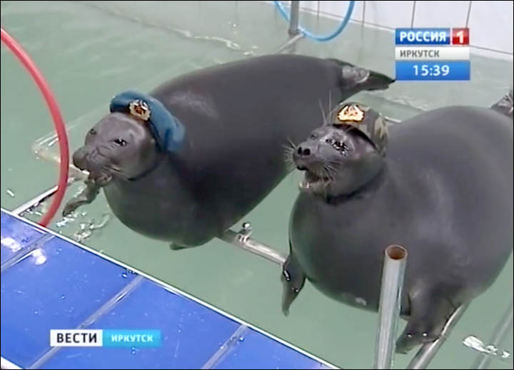 The seals march with toy guns wearing military hats for a performance linked to Victory Day on 9 May