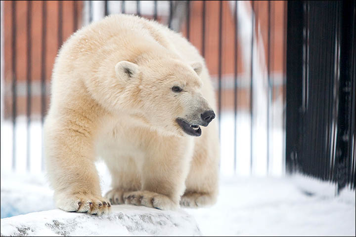 Thousands join online petition to stop famous polar bear cub being exiled to the other side of the world