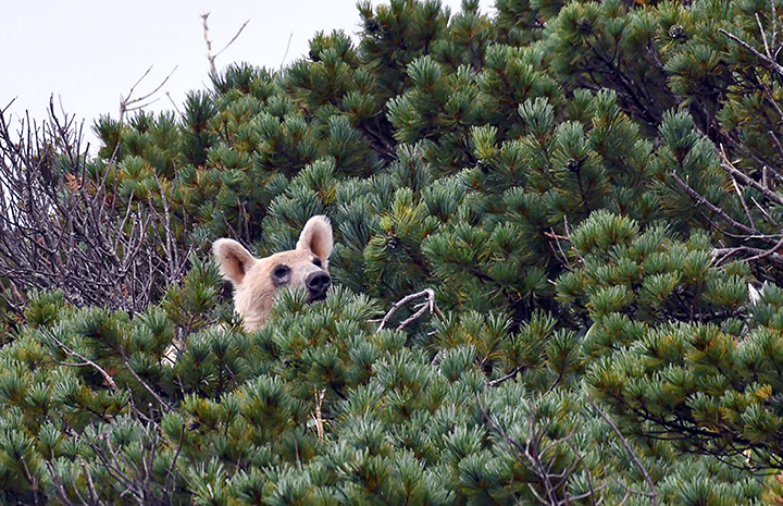 New pictures show how brown bears turn white 'due to inbreeding' on remote island