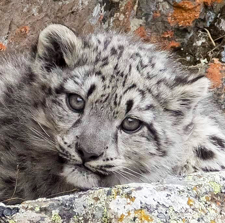Hero snow leopard mother with four cubs pictured in Mongolia