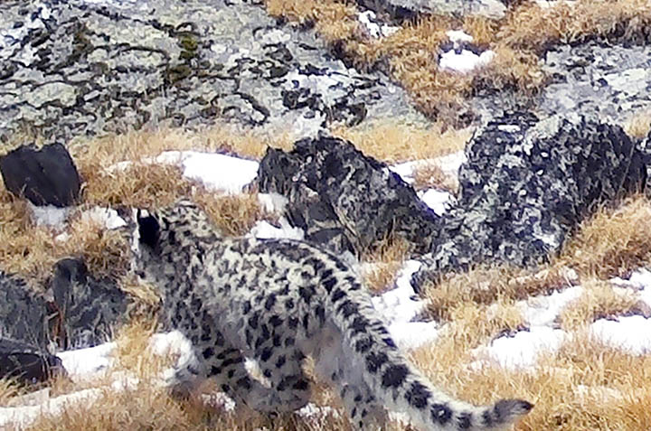 Ukok snow leopards