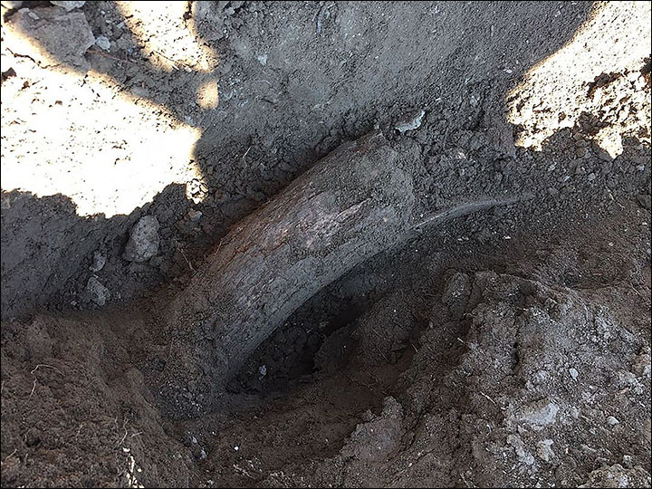 Man in Siberia find steppe mammoth tusks while planting potato