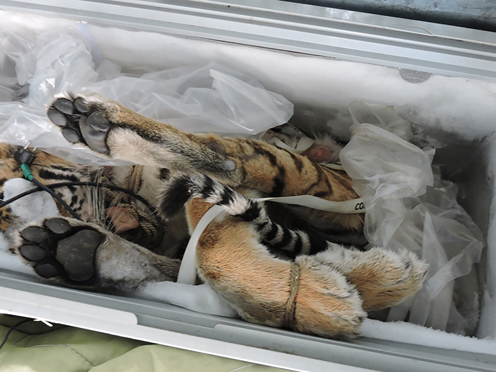 Frozen body of slain rare Amur tiger, the world's largest cat, found in Russian Far East
