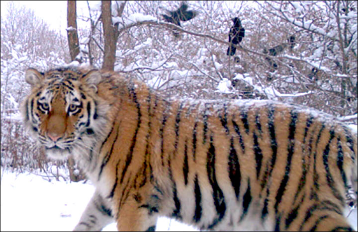 Putin's Siberian tiger cleared of eating Chinese takeaway dinner